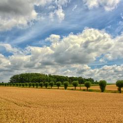 Koren velden in