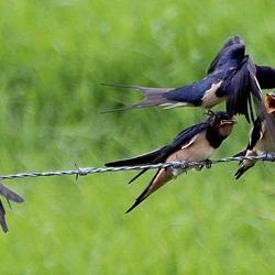 Moeder zwaluw voedert drie baby zwaluwen