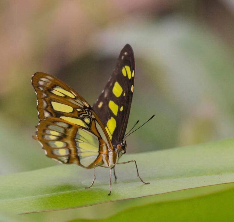 malachietvlinder - Een poosje rondgestruind in de nieuwe Mangrove-hal in Burgers Zoo in Arnhem.<br /> Vlinders te kust en te keur, maar niet allemaal