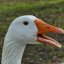 Vogel serie 152. Ganzen portret.
