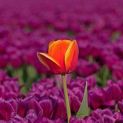 Tulp in het veld