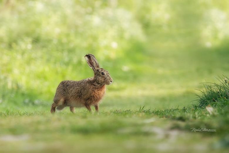 The hare and me - Op zoek naar oranjetipjes had ik vanochtend een bijzondere ontmoeting met een haas. Hij bleef even nieuwsgierig staan en dat gaf mij