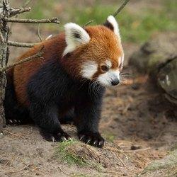 Kleine rode panda