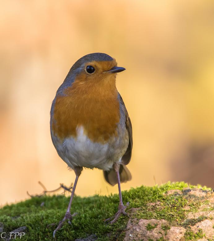 Roodborstje - Is en blijft een fotogeniek vogeltje.