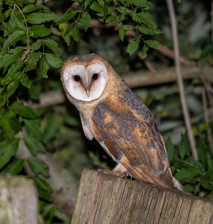 2nd Owl - Zeer mooi exemplaar kunnen vinden.