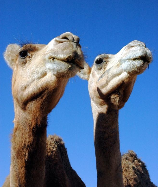Tweeling? - Ergens genomen op een kamelenmarkt in Libië.