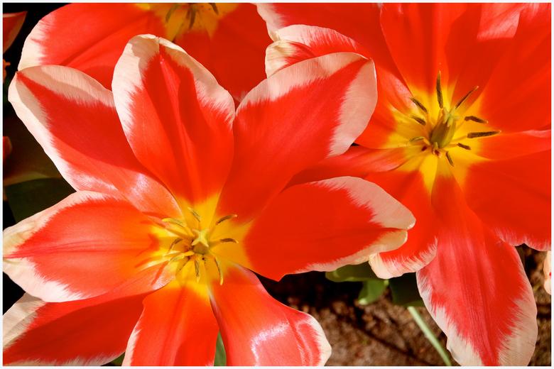 Tulp, wat ben je mooi