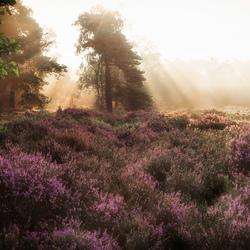 Heath at sunset
