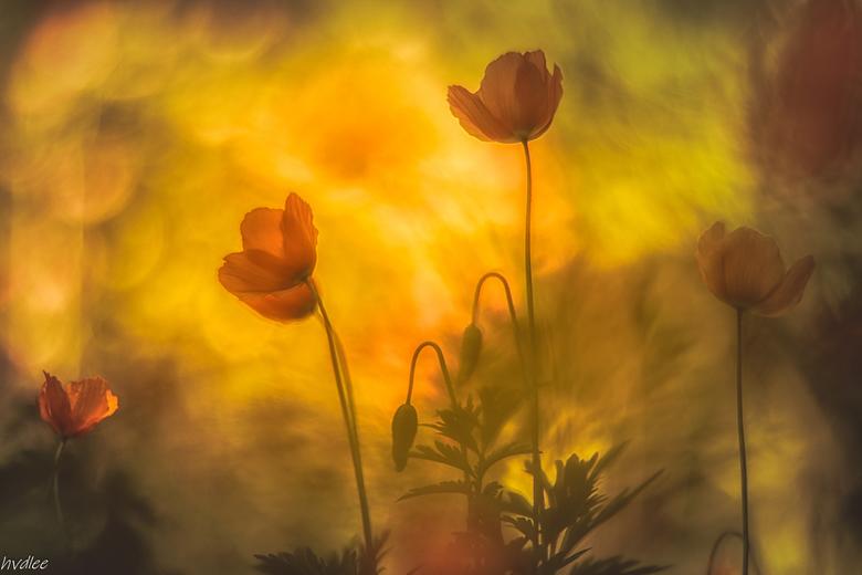 Symphonie in geel oranje - Poppies in de tuin met vintage lens
