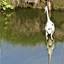 P1120570  Giraffe Reiger  . Ben IK dit  9 aug 2020  (2)