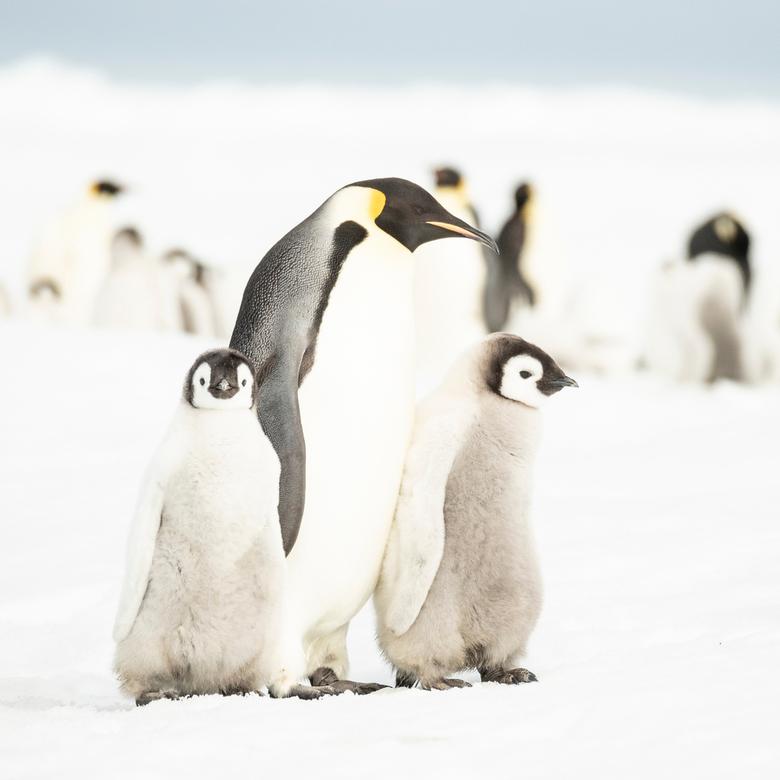 Kroost - Een ouder-pinguïn met twee chicks. Hooguit 1 van de 2 kan van deze ouder zijn.