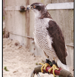 The Silver Buizerd