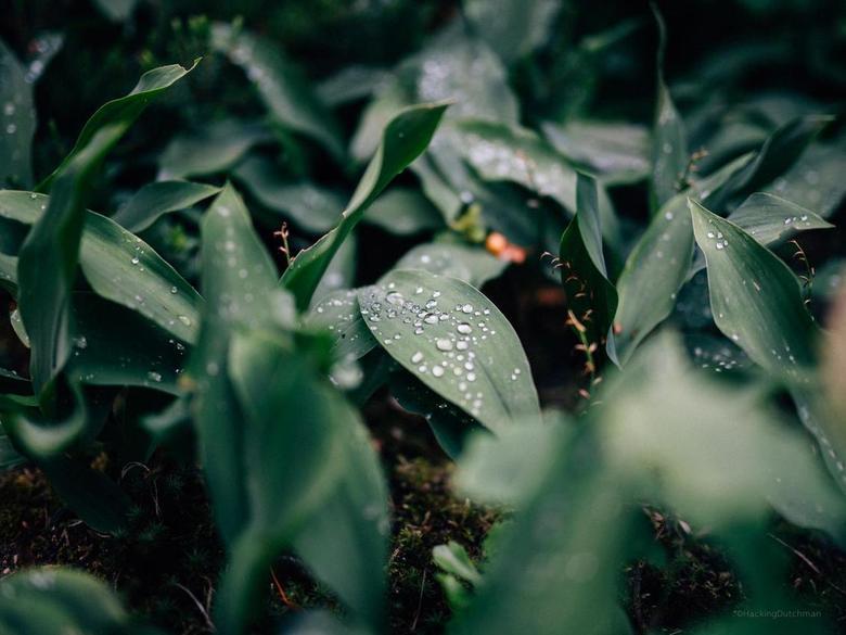 Druppels - Waterdruppels na een regenbui.<br /> Geeft altijd een mooi effect op het hydrofobe oppervlak van een blad.<br /> <br /> <br /> ©MotionM