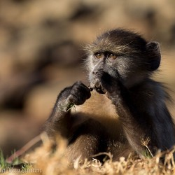 Little baboon