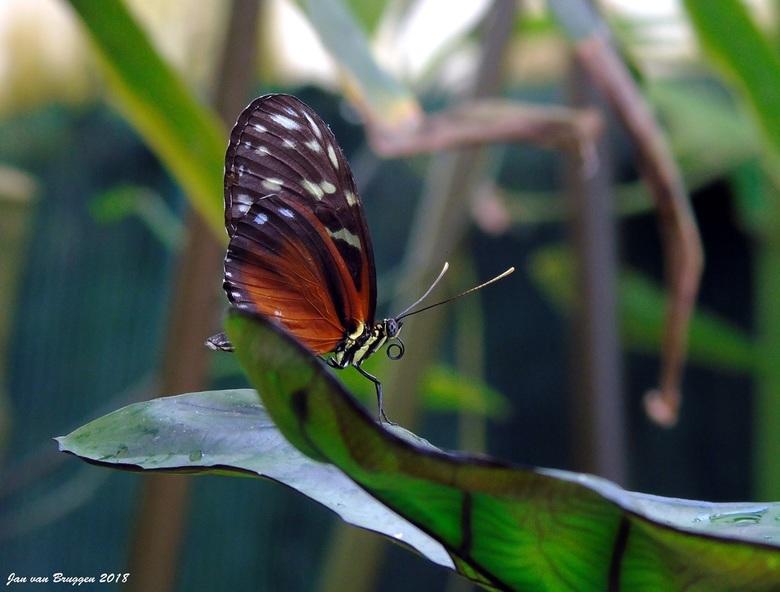 Heliconius Hecale..  - Ik blijf nog even in de vlindertuinen want vindt de omstandigheden van het weer nog niet echt geweldig om langs de zee door de