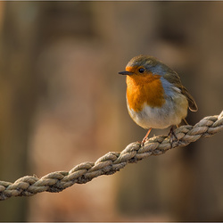 Robin on a String.....