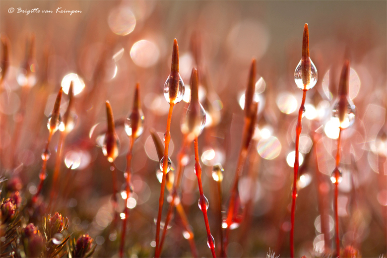 Red Bokeh - Bloeiend ruig haarmos met dauw, op een vroege ochtend op het stuifzand van de Loonsche en Drunense duinen afgelopen Maart dit jaar