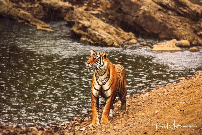 King of the Jungle - Helaas leven er nog maar weinig tijgers in het wild. Ik had dan ook ontzettend veel geluk in India toen deze kanjer uit het niets