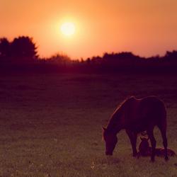 Paard met veulen bij zonsondergang