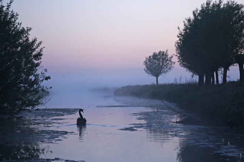 Zwarte zwaan - een zwarte zwaan in de vroege voorjaars ochtend.<br /> <br /> groeten, Bert