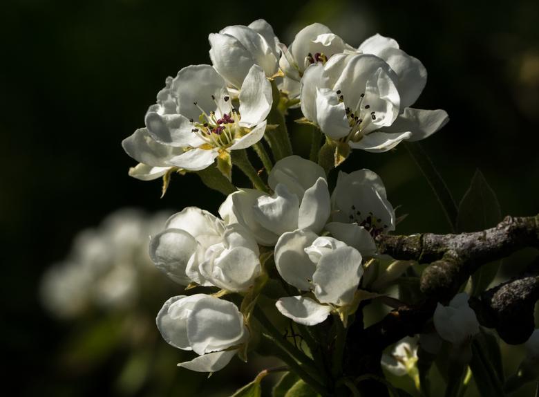 Van mooi naar lekker, perenbloesem van vandaag