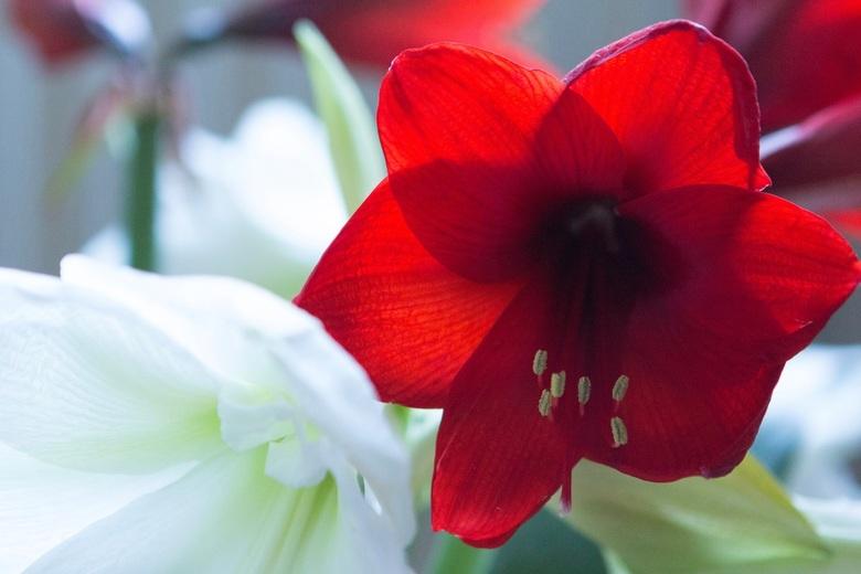 Ameryllis bloemen in bloei -
