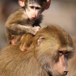Kleine baviaan geniet van het uitzicht vanaf moeders schouders