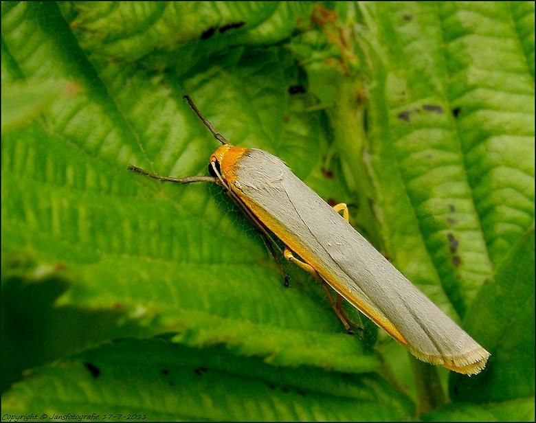 streepkokerbeertje  (Eilema complana) - bedankt voor de rea op m,n vorige foto met de titel bruin vuur vlindertje <br /> <br /> deze foto is nog van