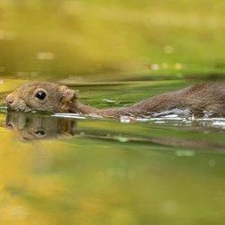 Zwemmend eekhoorntje