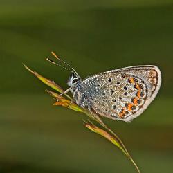 Heideblauwtje met dauw
