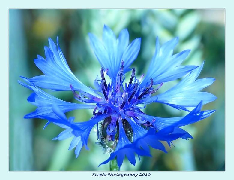 een korenbloem... - Mooi dat prachtige blauw van een korenbloem weer te zien...<br /> <br /> Groetjes,<br /> Sandra