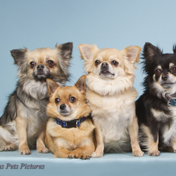 Chihuahua's 'familiefoto'