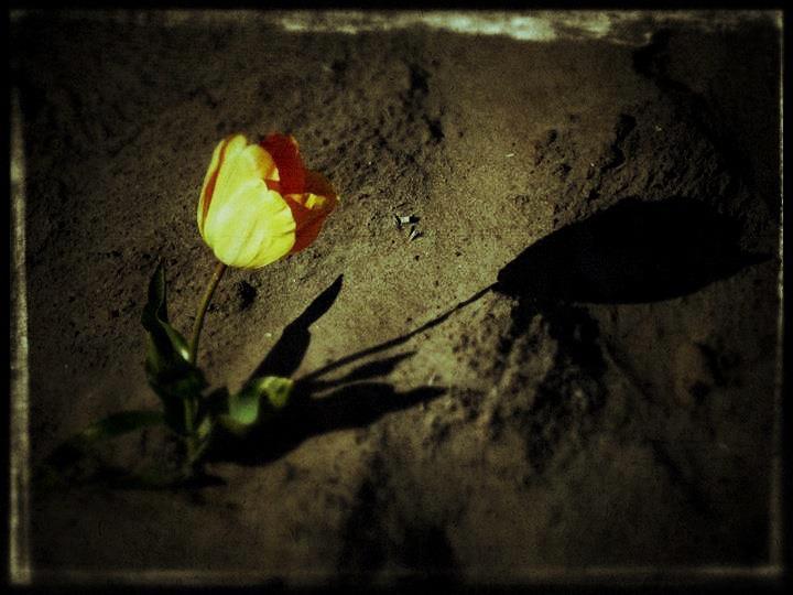 Loneliness - Tussen miljoenen tulpen eentje die  alleen staat.