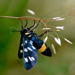 phegea vlinder 2