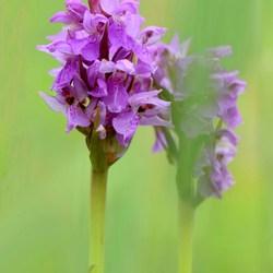 Wilde orchideeën