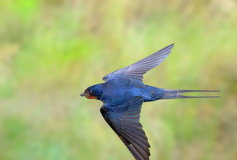 ZWALUW IN SCHEERVLUCHT 4. - Net voor de volgende regenbui, hangen de insecten laag boven de grond. Dit vogeltje scheert er in een flits en zigzaggend
