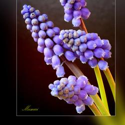 Muscari (blauwe druifjes) 2