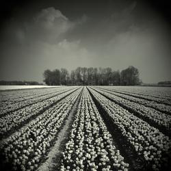 Tulpen in zwart-wit