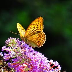 Zomerse vlinder!