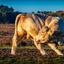 Een stier op de hei in het late middaglicht