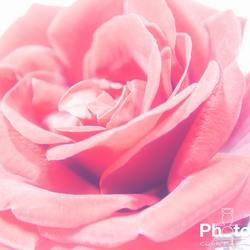 High Rose