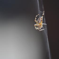 spinnenserie