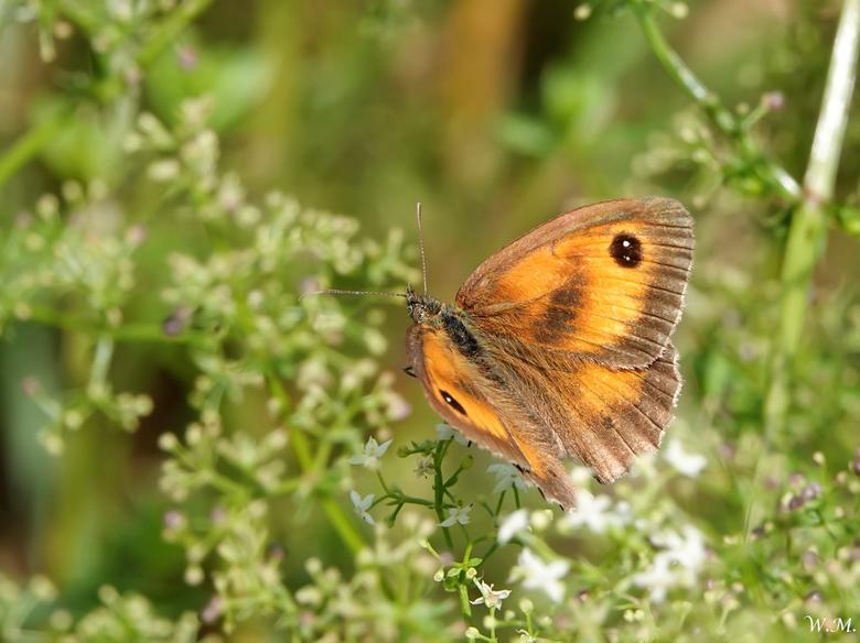 """Vlinder Het Oranje Zandoogje - Vandaag gespot  """"Het oranje zandoogje"""" Het was ooit een algemene vlinder, maar gaat steeds verder achteruit l"""