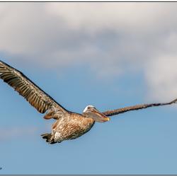 Bruine pelikaan in vlucht.