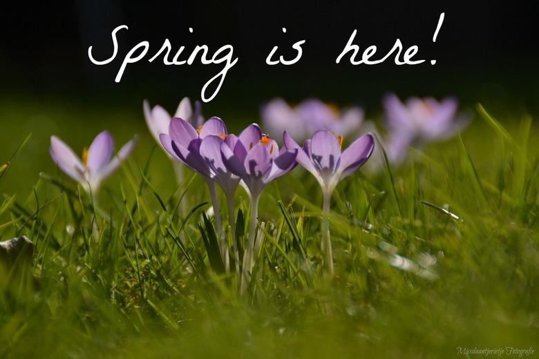 Spring is (finaly) here! - Paarse krokusjes, op m'n buik in het gras met een lekker zonnetje. Het is weer lente!
