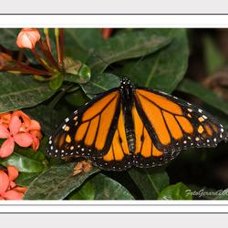 Vlinder in Artis 2
