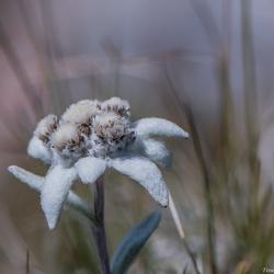 Edelweiss, Edelweiss.....