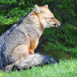 Patagonische vos
