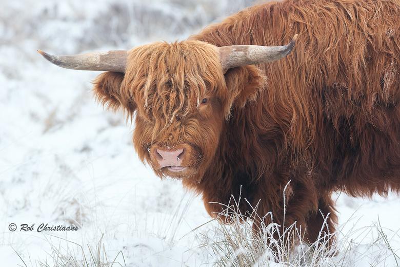 Schotse Hooglander - Gisterochtend naar de Terletse Heide op de Veluwezoom geweest. Er was nog sneeuw en rijp. Op zoek naar de Schotse Hooglander, na