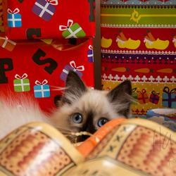 Ragdoll kitten Gioia